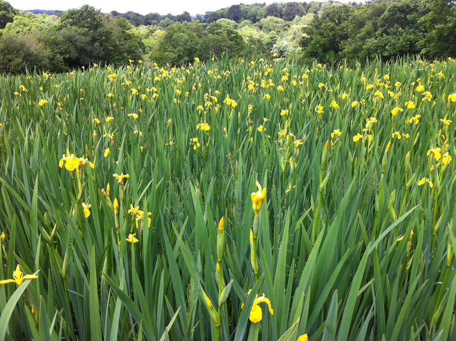 Lower Hewood Farm, Iris Field