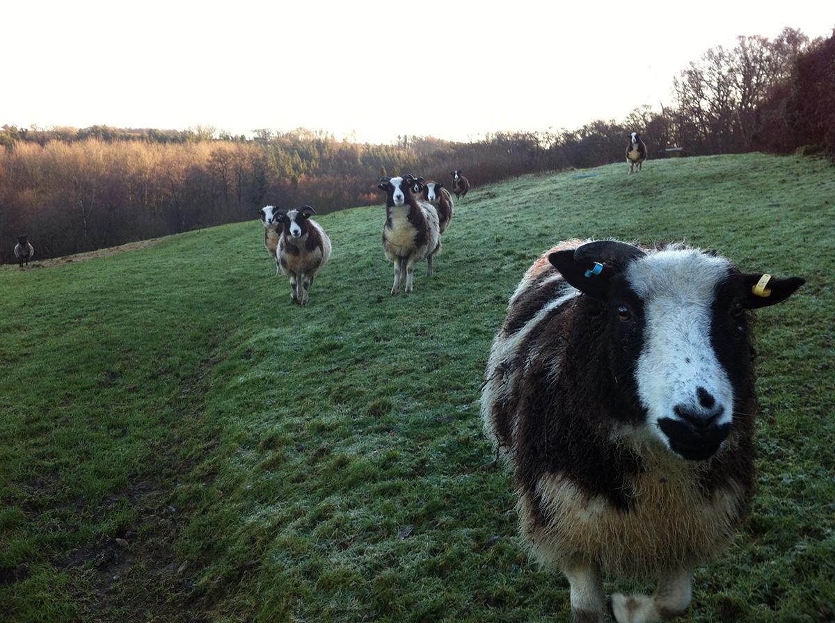 Lower Hewood Farm, Sheep